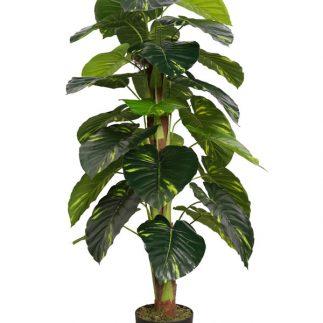 """עץ קיקיון 120 ס""""מ"""